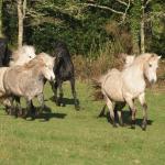 les-chevaux-des-crinieres-de-l-ouest-dans-le-56