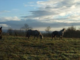 La cavalerie des Crinières de l'Ouest est constituée majoritairement de poneys.