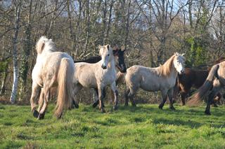 La vie en troupeau et au pré favorise le bon équilibre mental de la cavalerie.